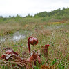 Sarracenia purpurea- Northern Pitcher Plant