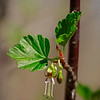 Ribes rotundifolium- Appalachian Gooseberry