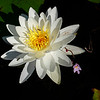 White waterlily and Purple Bladderwort