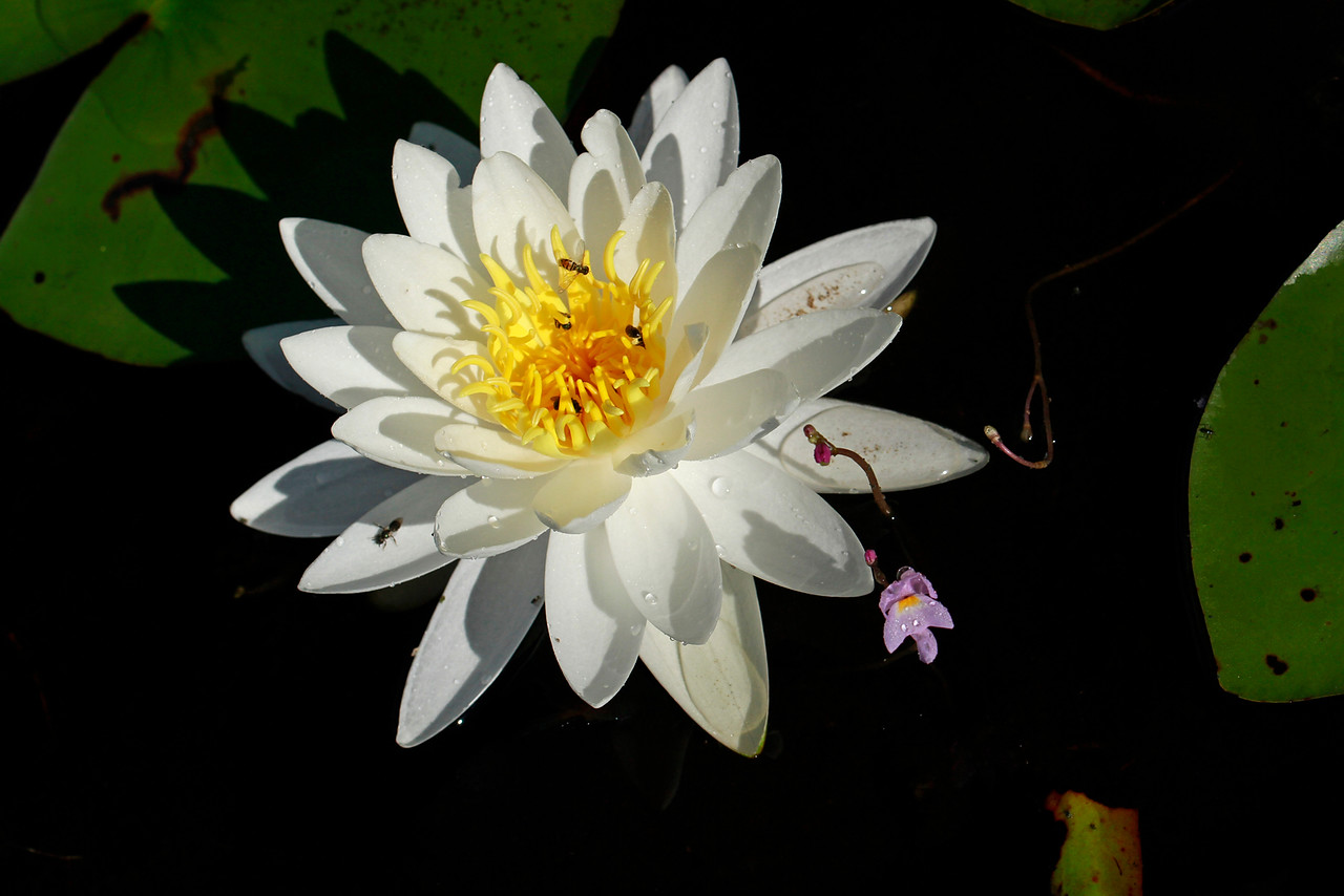 White waterlily and Purple Bladderwort