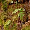 Cystopteris tenuis- McKay's Fragile Fern