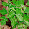 Toxicodendron pubescens- Eastern Poison Oak