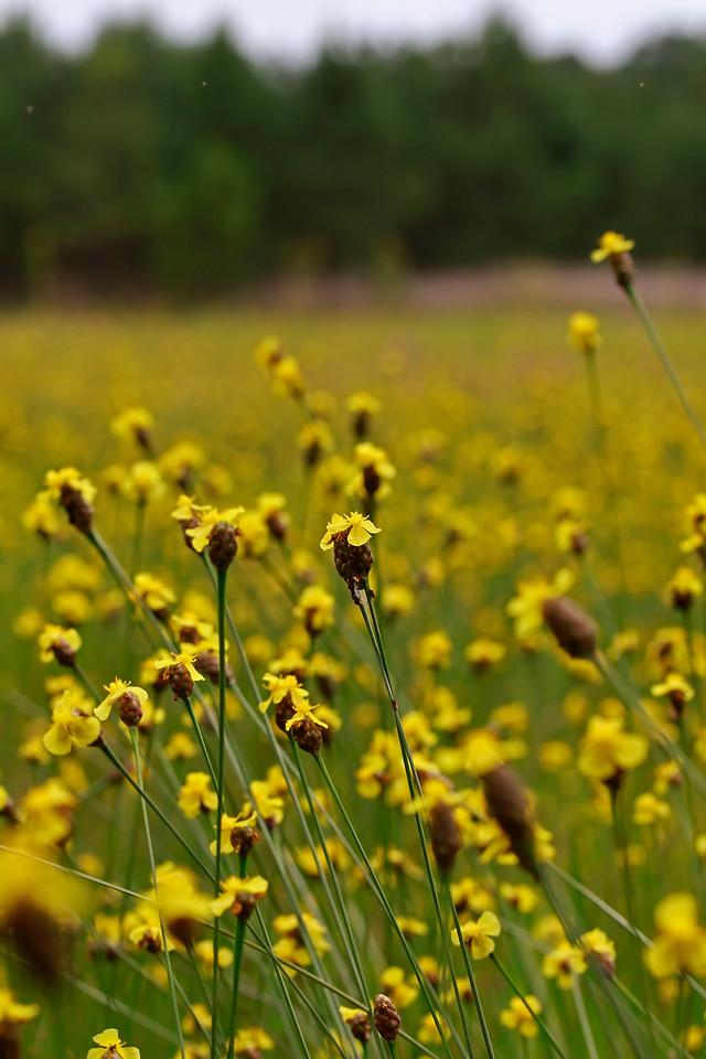 Xyris smalliana- Yellow-eyed Grass