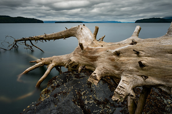 An old Sitka Spruce weathers along the shore in Settler's Cove Ketchikan, Alaska