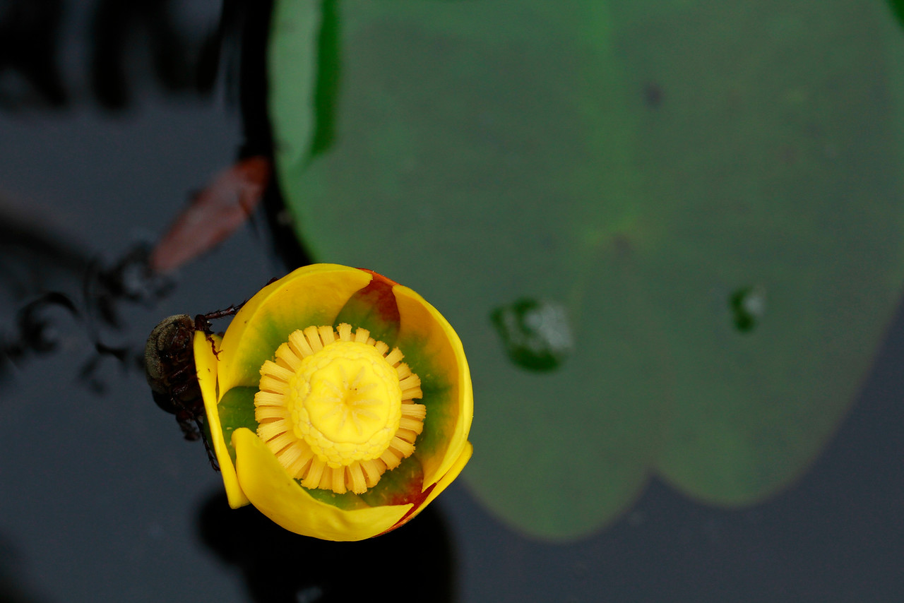 Nuphar variegata-Yellow Pond Lily