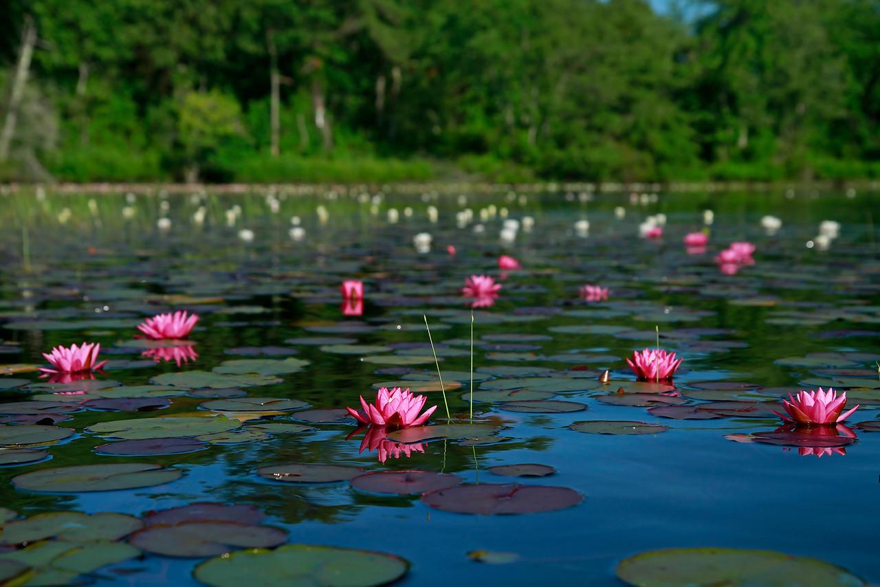 Nyphaea odorata var. rosea- White Waterlily