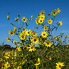 Helianthus giganteus- Giant Sunflower