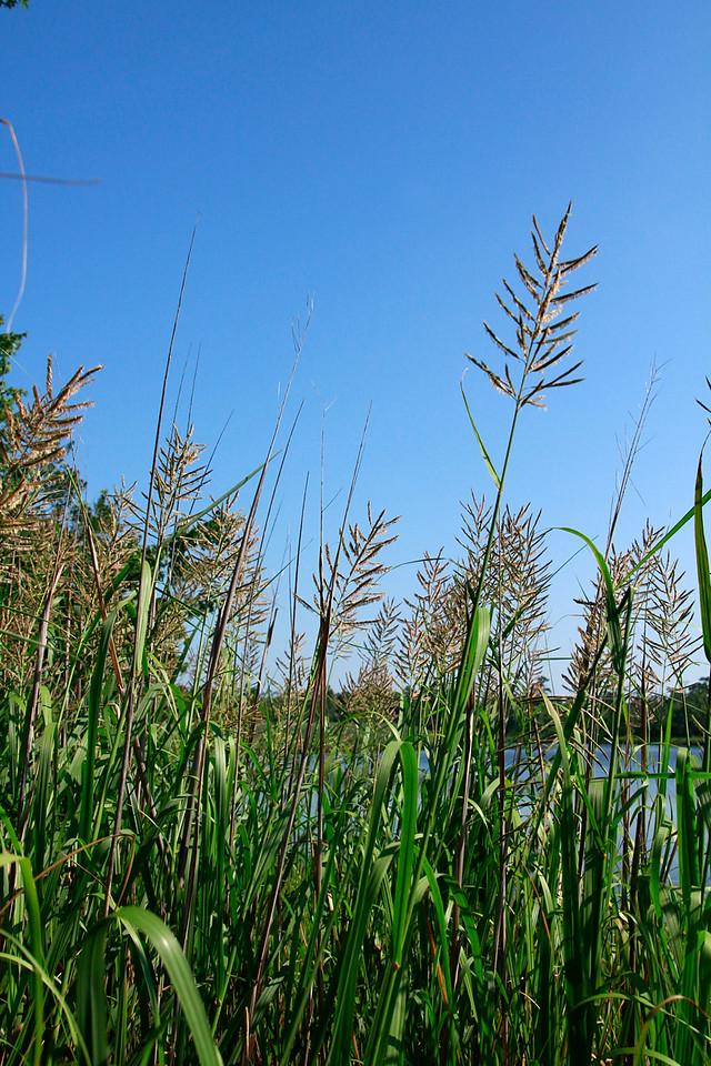 Spartina cynosuroides- Giant Cordgrass