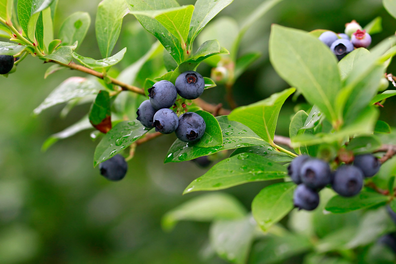 Vaccinium corymbosum- Highbush Blueberry