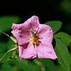 Rosa palustris- Swamp Rose
