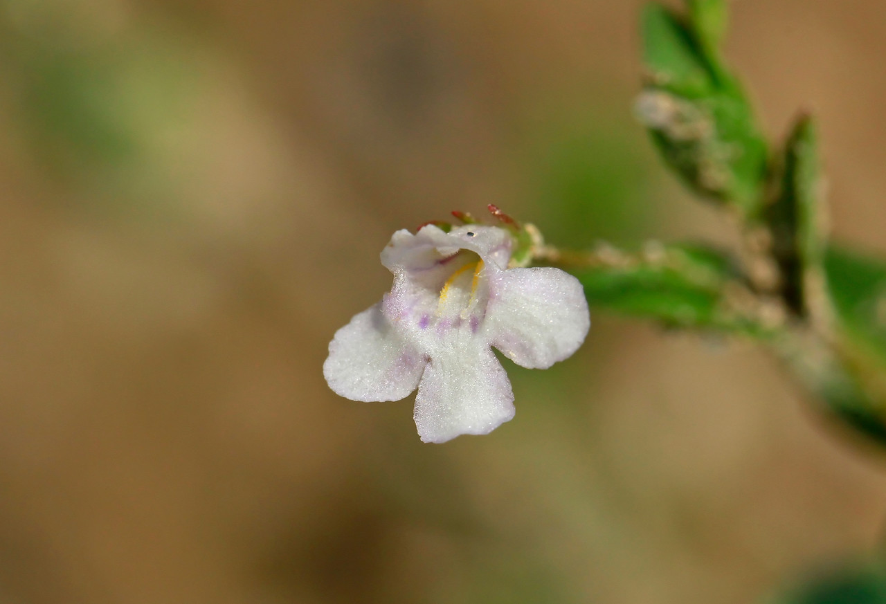 Lindernia dubia- Yellowseed False Pimpernel