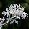 Sabatia difformis- Lance-leaved Sabatia