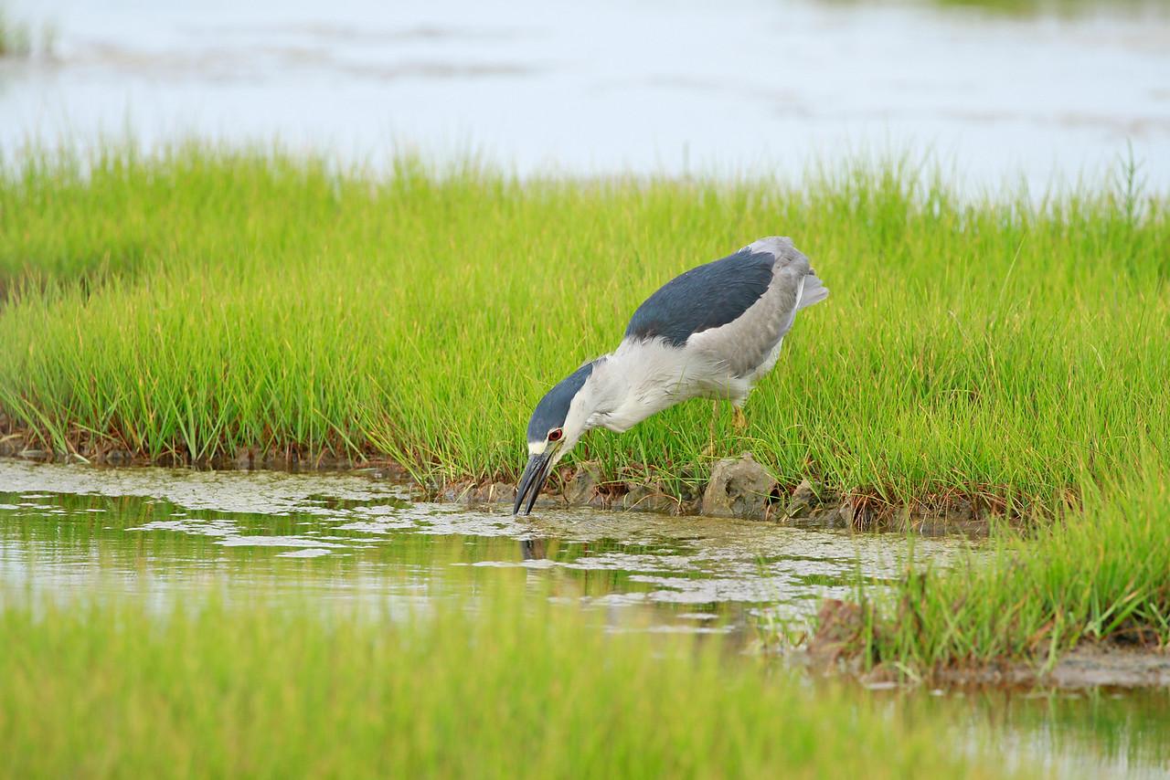 Black-crowned Night Heron