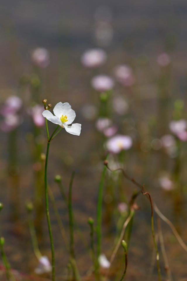 Sagittaria teres- Quill-leaved Arrowhead