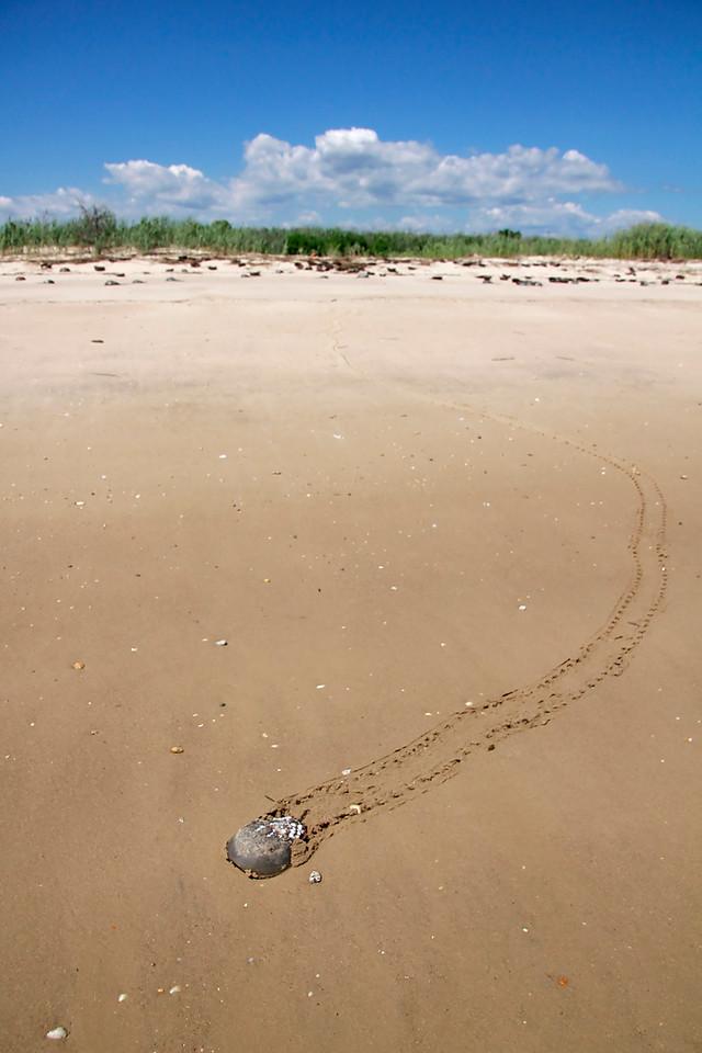 Horseshoe Crab survey along Delaware Bay
