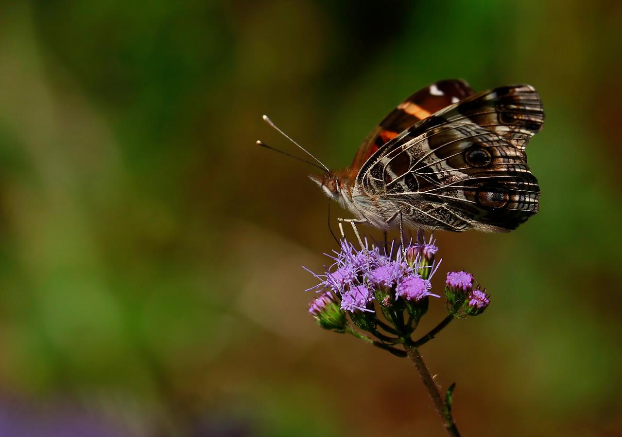 American Lady on Mistflower Black Swallowtail on Downy Lobelia Hydrocotyle prolifera- Whorled Marsh Pennywort