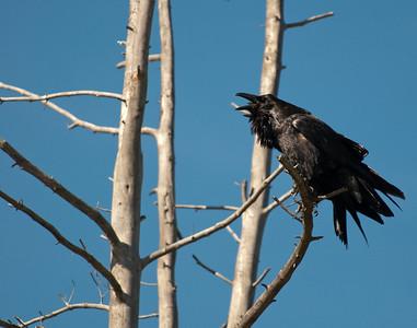 Ravens on Grand Loop