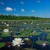 Picturesque scene of White Waterlily and Purple Bladderwort Martha's Pennant