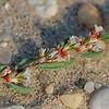 Polygonum glaucum- Seaside Knotweed