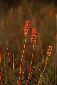Narthecium americanum- Bog Asphodel
