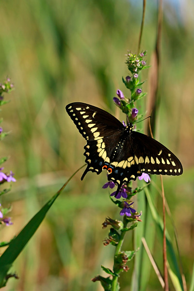 Black Swallowtail on Downy Lobelia Hydrocotyle prolifera- Whorled Marsh Pennywort