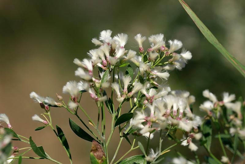 Baccharis halimifolia- Groundsel Tree