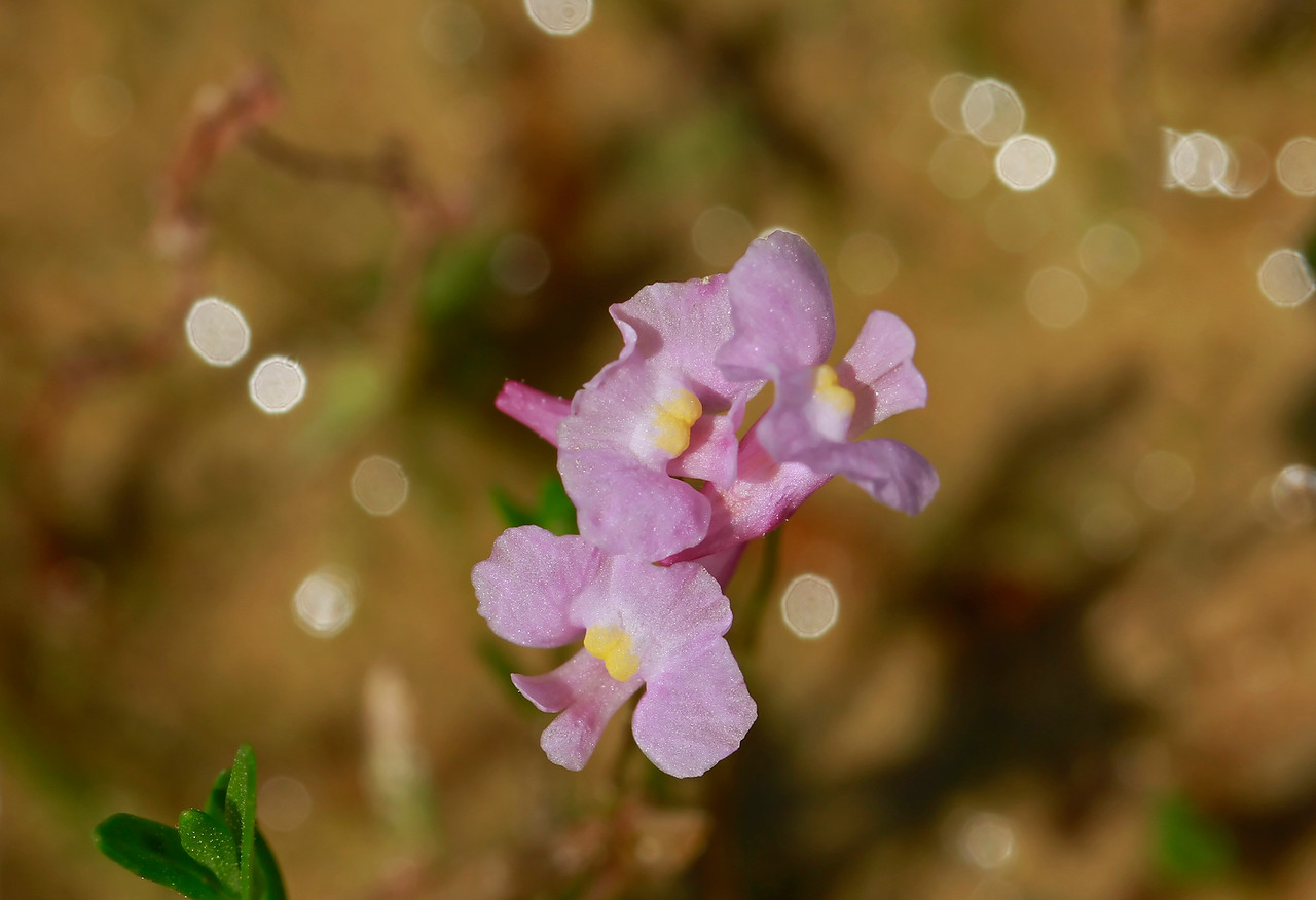 Utricularia resupinata- Reversed Bladderwort