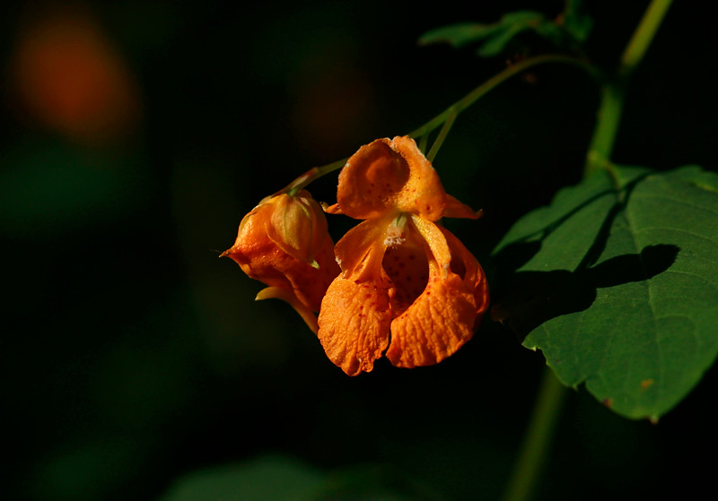 Impatiens capensis- Spotted Jewelweed