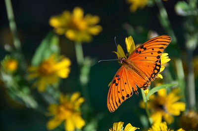 Butterfly migrations in Central Texas