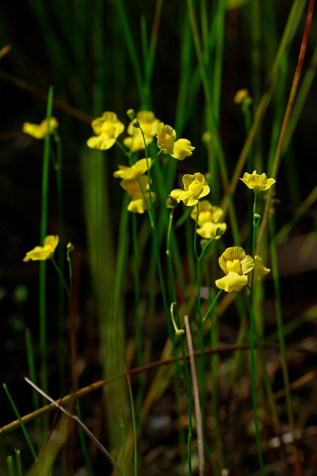 Utricularia striata- Striped Bladderwort