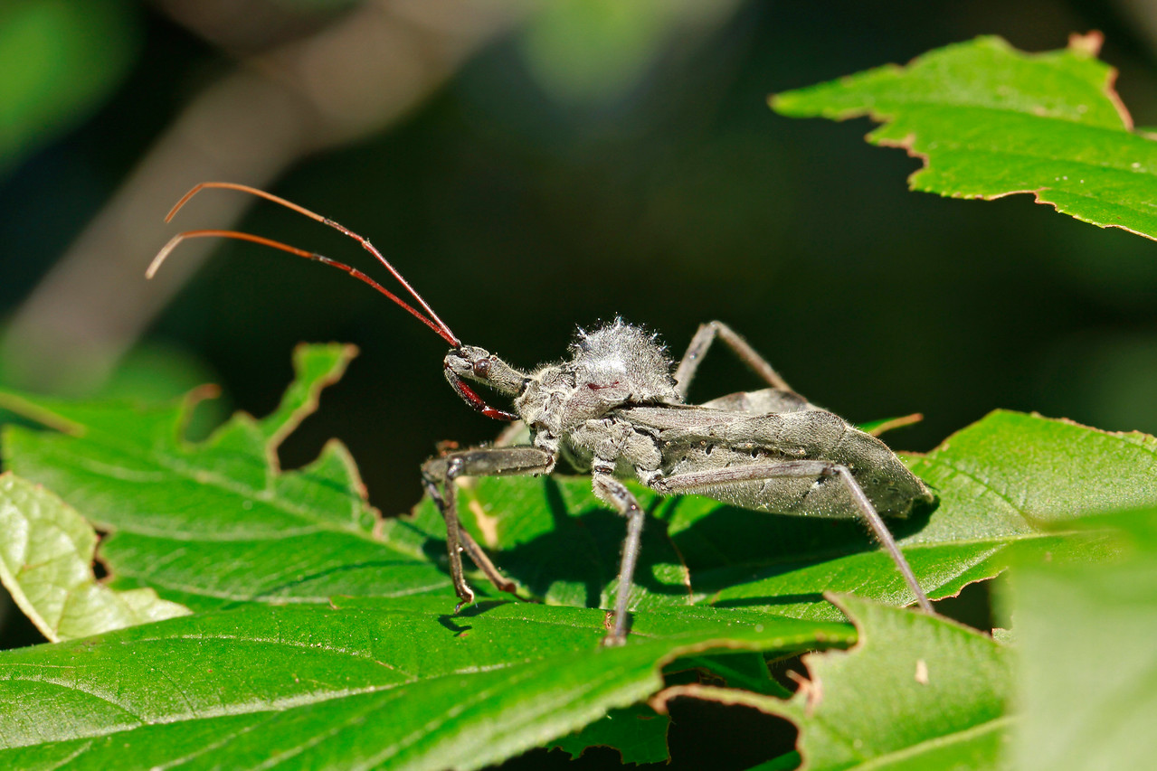 Wheel Bug (Assassin Bug)