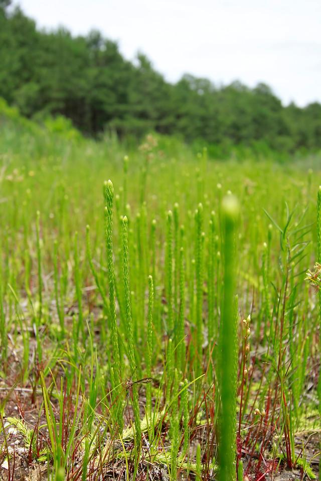 Lycopodium appressum- Southern Bog Clubmoss