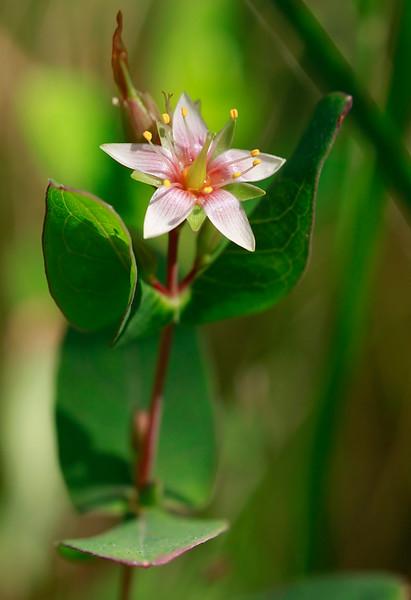 Hypericum virginicum- Marsh St. John's Wort
