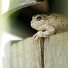 Gray Treefrog in the yard
