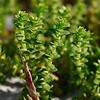 Honckenya peploides var. robusta- Seabeach Sandmat