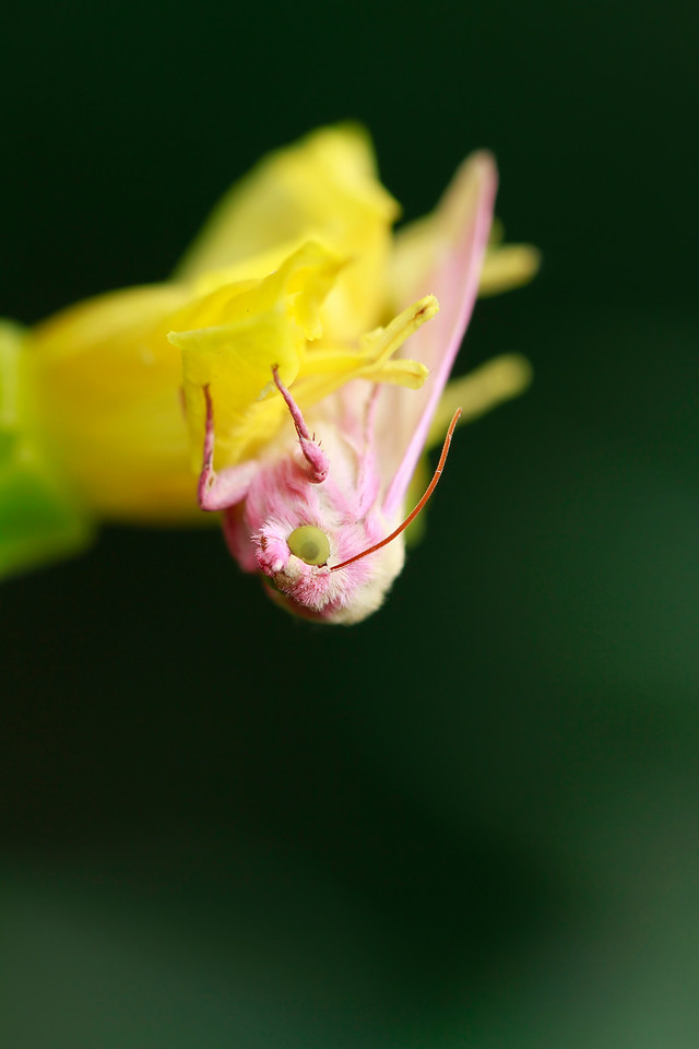 Primrose Moth on Evening Primrose