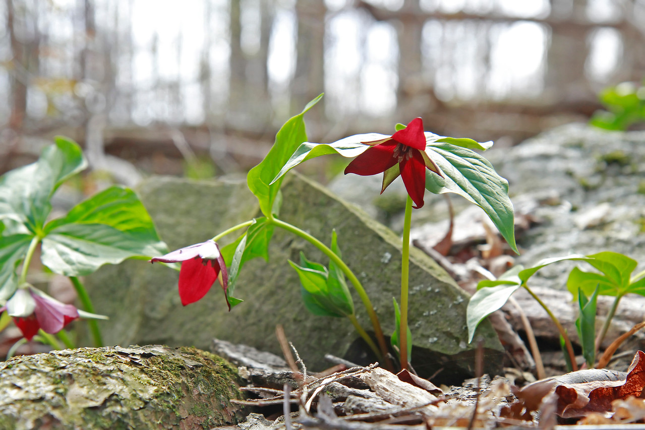 Trillium erectum- Red Trillium