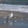 White-winged Ring-billed Gull