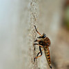Robber Fly!