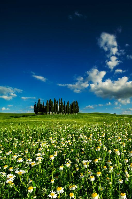 Cypress Trees; Val d'Orcia; Tuscany; Italy