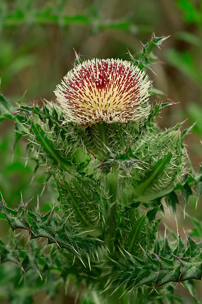Cirsium horridulum- Yellow Thistle