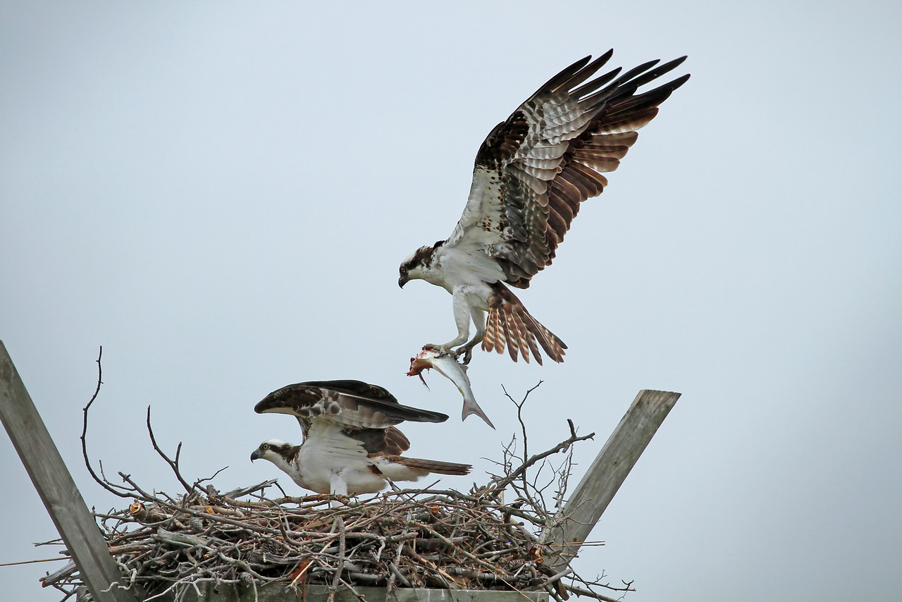Nesting Ospreys with fish!