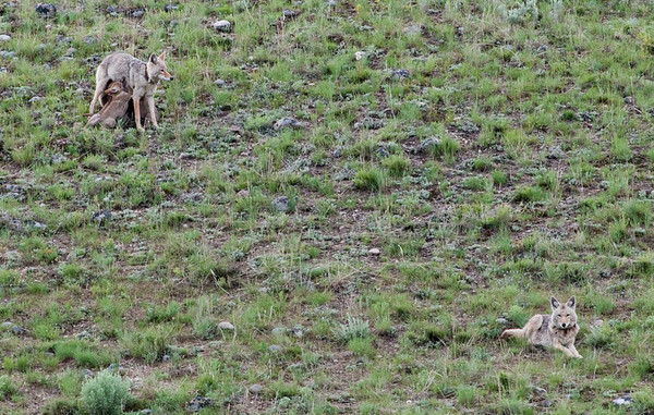 Coyote pack near Slough Creek