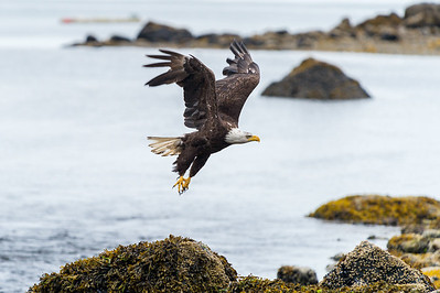A Bald Eagle takes flight over Herring Bay in Ketchikan, Alaska