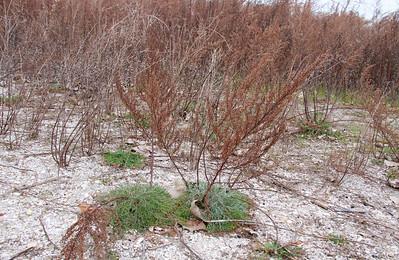 Artemisia campestris ssp. caudata- Beach Wormwood