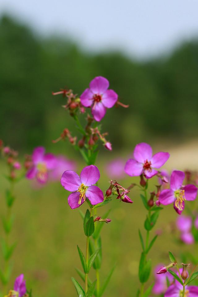 Rhexia virginica- Virginia Meadow Beauty