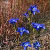 Gentiana autumnalis- Pine Barrens Gentian