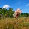 Andropogon glomeratus- Bushy Bluestem
