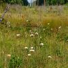 Eriophorum virginicum- Tawny Cottongrass