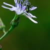 Lactuca biennis- Tall Blue Lettuce